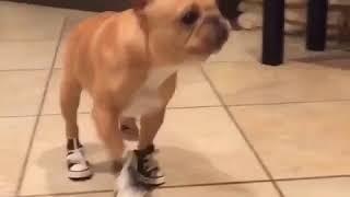 Пёс в обуви - ржачное видео (лучшие приколы с животными, смех, юмор, позитив)
