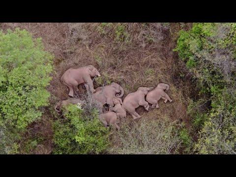 15 فيل ومسيرة 500 كيلومتر.. يشعل مواقع التواصل