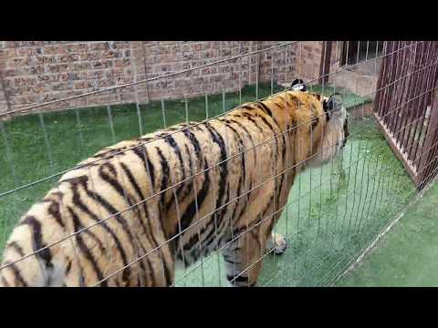 Can a cat get out of a tiger enclosure?