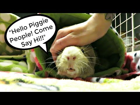Interacting With My Guinea Pigs