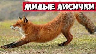 Милые лисички - лиса и расческа | Bazuzu Video ТОП подборка октябрь 2017