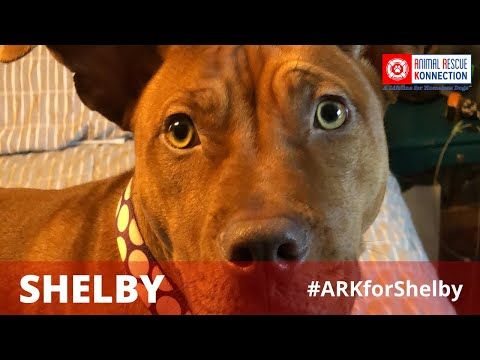 Shelby, an adopted American Staffordshire Terrier in Norton, MA_image-1
