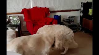 Golden Retriever Playing Hide And Seek