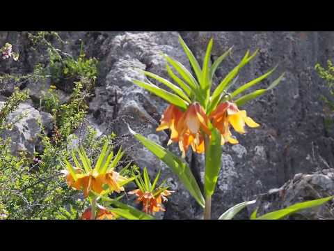 Цветок Айгуль (Лунный цветок) - рябчик Эдуарда (лат. Fritillāria eduárdii)