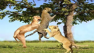 Lion attacks Leopard to capture The Prey, Best unexpected raids and battles