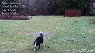 Madison The Border Collie Week 4 Board and Train