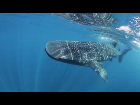 Incredible #1 whale shark Tours Mexico, Cozumel, Cancun, Playa del Carmen , Tulum