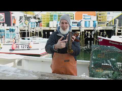 Youtube Video Still for Harvesting American Lobster - Shell Types Explained
