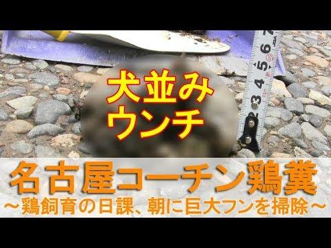 , title : '名古屋コーチンの鶏糞~ニワトリ飼育の日課、朝に巨大ウンチを掃除~