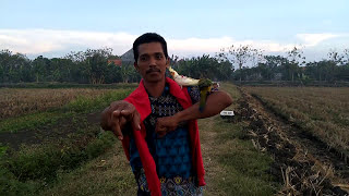 Si gondrong free flight parrot lovers