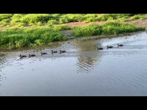 Video of ducks, they were everywhere!