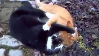 Thế giới động vật Mèo đánh nhau