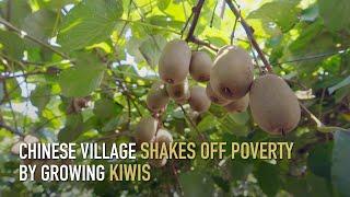 Chińska wioska otrząsa się z biedy, uprawiając kiwi.