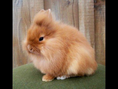Video perawatan yang baik untuk kelinci berbulu panjang