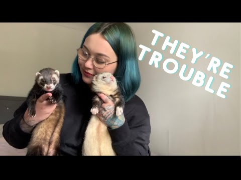 , title : '5 Reasons Ferrets Are BAD Pets