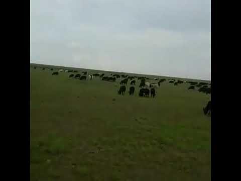 , title : 'Барашки 1500 голов. Курдючная порода.Продажа на экспорт из России без посредников.#МРС #овцы #бараны
