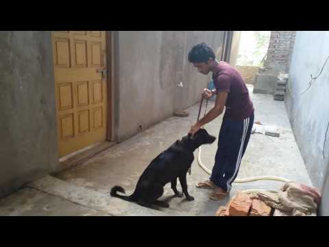 How training dog to sit in desi