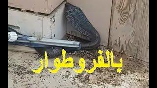 شاهد كيف تم اصطياد كوبرا في ولاية المسيلة الجزائر