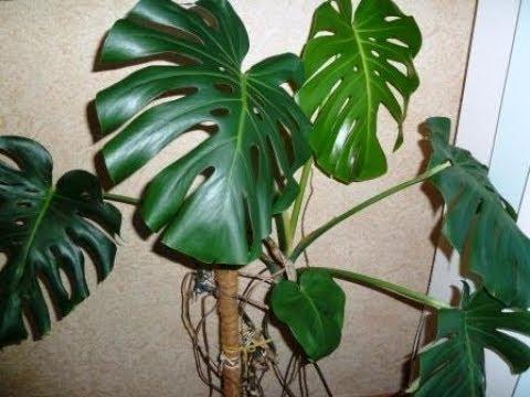 МОНСТЕРА  Какой нужен уход, чтобы растение постоянно радовало своей красотой