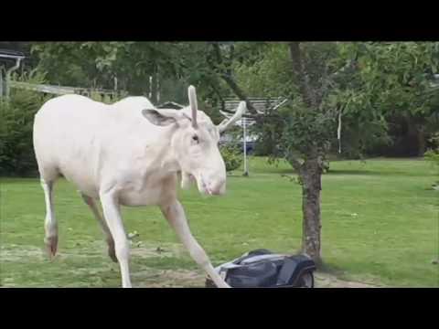 Drunk Albino Moose Fights a Lawnmower