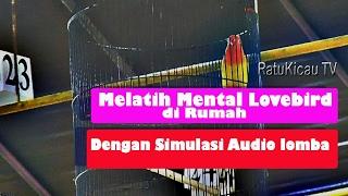 Cara Melatih Mental Lovebird Dengan Simulasi Audio Lomba
