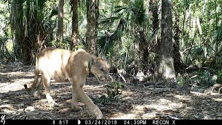 Florida Everglades Trail Camera Pickup