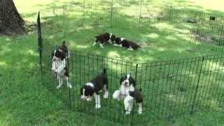 English Springer Spaniel puppies- Merry x Justin