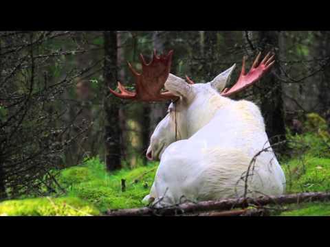 balts alnis