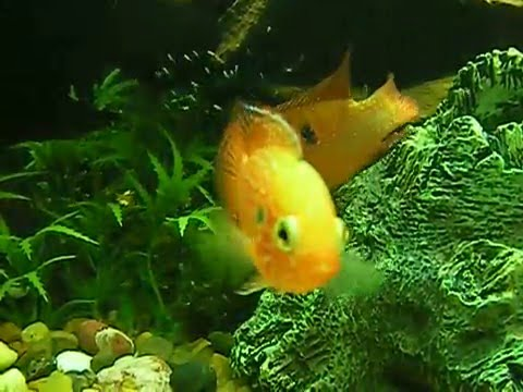What egg laying tropical fish breed the easiest?   Yahoo Answers