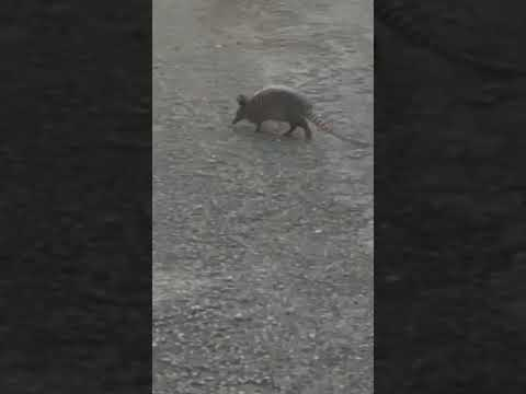 of course an armadillo...we are in Texas