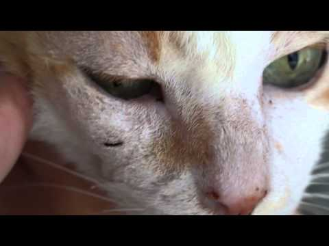 An Old Cat Has A Right Facial Swelling (abscess) On Right Lower Eyelid