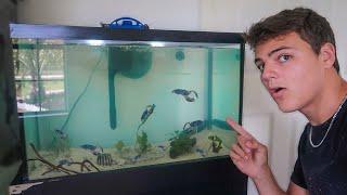 BLUE CRAY-FISH *ONLY* 10G AQUARIUM!!!