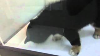 世界で人気の日本犬!しつけやすく、飼い主様に忠実です。