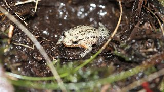 Helping to save the white-bellied frog