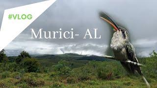 Passarinhando em Maceió/Murici-AL com Ester Ramirez e Marcos Holanda- Rabo Branco de Margarette