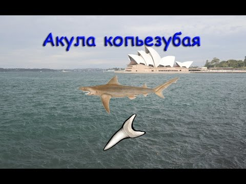 Русская Рыбалка 3.99 Акула копьезубая