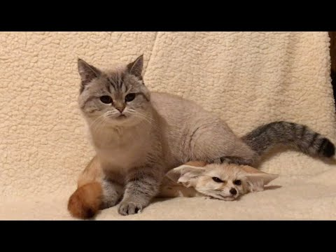 Fennec Fox And Cat Are Best Of Friends Neatorama