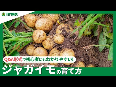 , title : '☘62:ジャガイモの育て方|春植えと秋植えの違いは?大きく育てる方法は?芽出し、芽かき、土寄せなどもご紹介【PlantiaQ&A】植物の情報、育て方をQ&A形式でご紹介