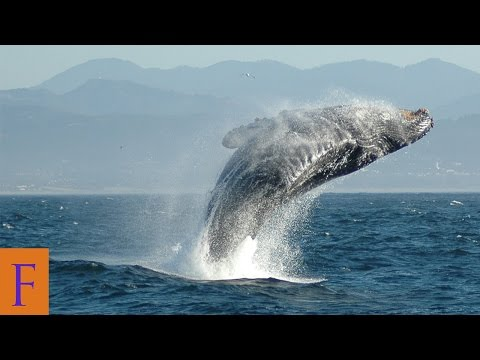 Facts About Animals:  Blue Whale Weight Over 200 Tons Mp3
