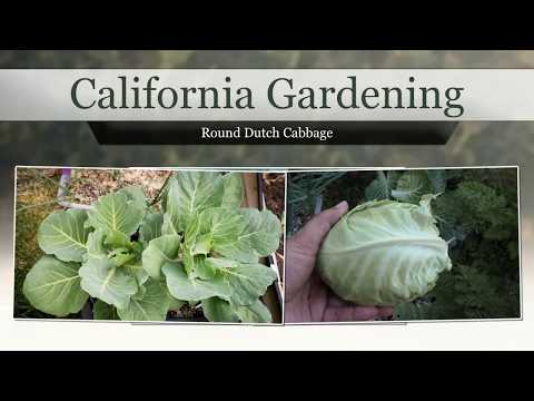 , title : 'How To Grow Ferry's Round Dutch Cabbage Variety - Easy Guide To Growing Cabbages