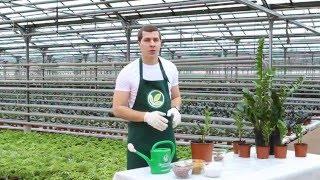 Неприхотливые комнатные растения: замиокулькас видео