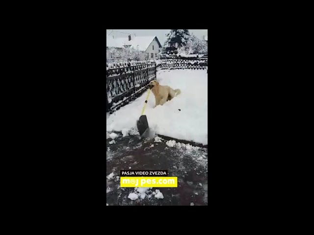 Goldie – Video natečaj 2020 – Revija Moj Pes #Goldie #MojPes