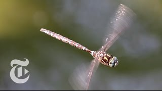 Dragonflies: Dainty But Deadly | The New York Times
