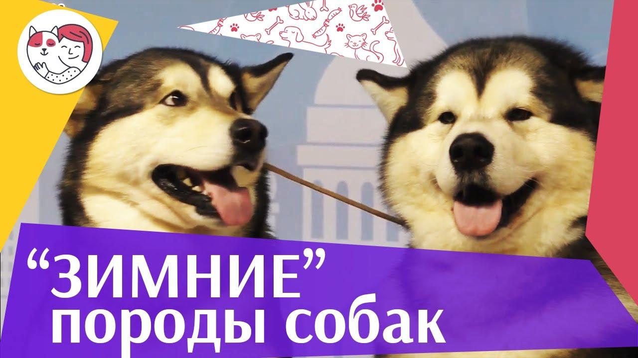 5 пород собак обожающих зиму на ilikepet