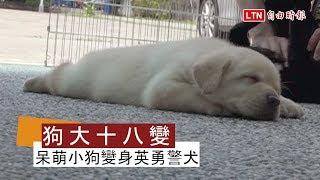 犬界「天堂路」!超萌狗寶寶如何變身帥氣警犬?