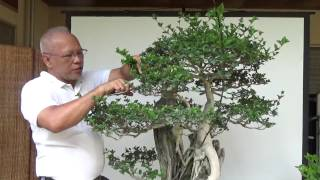 Bonsai Tutorials for Beginners: How to trim bonsais for maintenance 1 of 3