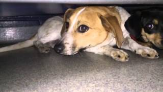 Video Of Adoptable Pet Named Pen 14 Chihuahua/Beagle X 6 Mos. AVAIL WED 1/29