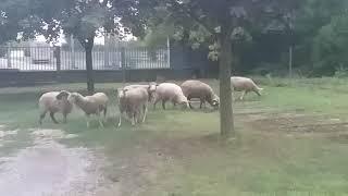 Birkák Legelésznek Kalocsa Belvárosában