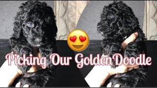 Picking Our (F1bb) Black GoldenDoodle Puppy at 5 Weeks Old  |  R HOUSE