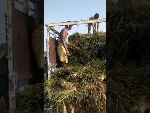 Vetiver Grass - Wholesale Price For Vetiver Plant In India